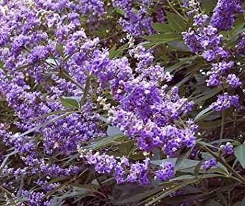 ASTONISH Pacchetto semi: 10 Semi di Vitex Agnus Castus Tir Creek Hardy seme Casto