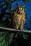 707085 Long eared Owl A4 Photo Poster Print 10x8