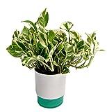 #10: Root Bridges Indoor N'Joy Money Plant in Self Watering Pot