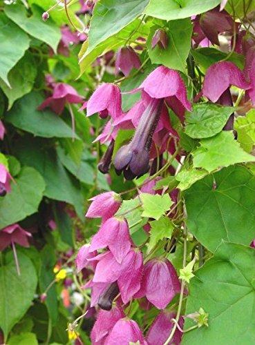 Rhodochiton Violet Bell Graines - Rhodochiton Atrosanguineus