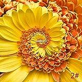 Portal Cool Gelb: 30Pcs Bodendecker Chrysanthemum Samen Perennial Daisy Blumensamen Mix Farbe Vx