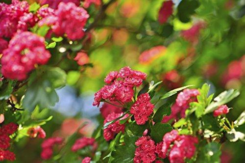 1-midland-hawthorn-pauls-scarlet-crataegus-laevigata-4-5ft-tall-stunning-deep-pink-flowers