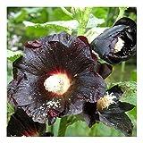 Schwarze Stockrose – Schwarze Malve – Zier- / Arzneipflanze – Althaea (Alcea) rosea var. Nigra – 100 Samen