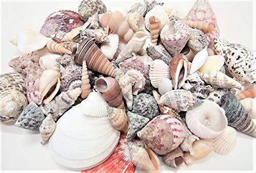 CF-NatureCraft Muschelmix Large 1kg echte große Muscheln und Schnecken tropisch Aquarium Deko Streudeko Beach Basteln