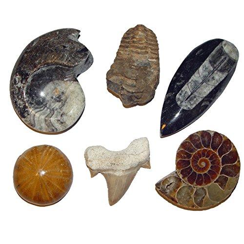 Fossilien Versteinerungen 6er Sammlung Geschenk: Ammonit - -Seeigel - Trilobit - Goniatit - Haizahn - Orthoceras (4775)