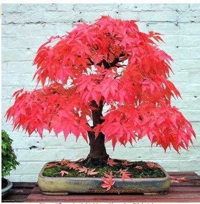 Xianjia Garten - Selten Japanischer Ahorn Samen Fächerahorn Bonsai Saatgut winterhart mehrjährig Ahorn Zierpflanze - Baum & Bonsai/Zimmer/Garten (1)