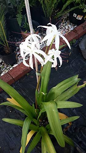 PLAT FIRM GERMINATIONSAMEN: Weiße Crinum americanum - 2 med Pflanzen