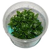 1 Dose Sagittaria Staurogyne repens in vitro, Wasserpflanzen steril angezogen