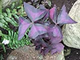 Oxalis triangularis: purple shamrock (English Edition)