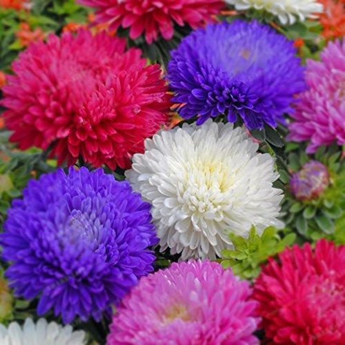 Qulista Samenhaus - 100pcs Blau Raritäten Tagetes Antigua Studentenblume Sammetblume Blütenmeer Blumensamen winterhat mehrjährig, geeignet für Blumenbeete/Einfassungen/Schalen/Töpfe/Gefäße/Balkon