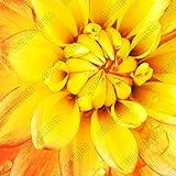 Fash Lady 1 STÜCKE Beautifu Blume Pflanzen Regenbogen Dahlien knollen der mehrjährige Blume Garten Zimmer Blumen Bonsai für Garten