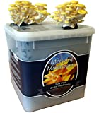 Nutley's Fresh Yellow Oyster Mushroom Kit (1)