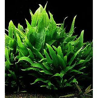 JAVA FERN live aquarium plant for coldwater or tropical fish tank Microsorium Pteropus for bogwood redmoor root (10) 7