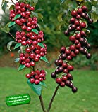 BALDUR-Garten DUO-Obst Süßkirsche