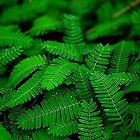 Rosepoem Sensitive Plant Seeds Mimosa Pudica Moving Plant Shy Plant Vergonzosa Planta Touch-me-not Plant Seeds