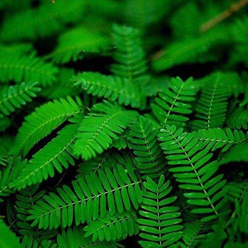 Rosepoem Graines de plantes sensibles Mimosa Pudica plantes en mouvement Shy Plant plantes honteuses Touch-me-pas graines de plantes