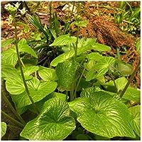 Exotic Plants Wasabi seeds - - 20 semillas