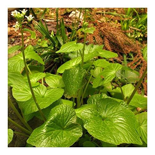 Wasabi seeds - Japanischer Meerrettich - 20 Samen