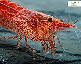 10 Rote Zwerggarnelen + Mainfeed - Futter Dose - Red Fire Garnele - Neocardina davidi 'Red'