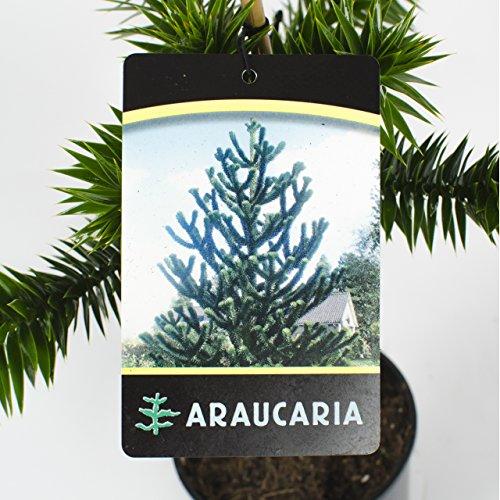 Chilenische Schmucktanne Araucaria araucana 30-40 cm hoch im 7,5 Liter Pflanzcontainer