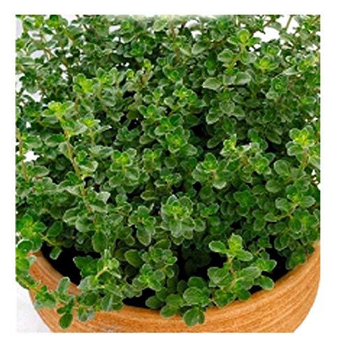 inception pro infinite 200 c.ca semi maggiorana gentile - majorana hortensis in confezione originale prodotto in italia - maggiorane gentili