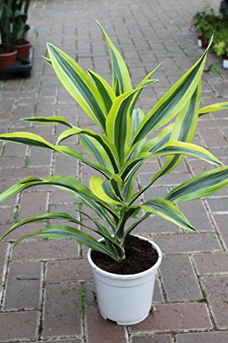 plante-dinterieur-plante-pour-la-maison-ou-le-bureau-dracaena-fragrans-citron-citron-vert-hauteur-en