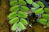 Kleiner Büschelfarn - Kleiner Schwimmfarn / Salvinia natans - Mini-Schwimmpflanze für Aquarien
