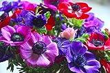 Humphreys Garden Anemone De Caen x 50 bulbi da fiore
