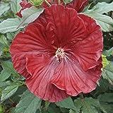 lichtnelke - Riesen-Hibiskus (Hibiscus moscheutos) Cranberry Crush®
