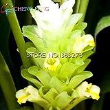 Shopmeeko Beförderung!!!100pcs bunte neue Ankunfts-Curcumaanlagen seltenste frische Pflanzen Gartenpflanzen geben Verschiffen frei: Weiß