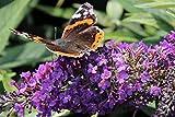 Schmetterlingsstrauch 'Purple Chip'® - starke Pflanze im grossen 5lt Topf