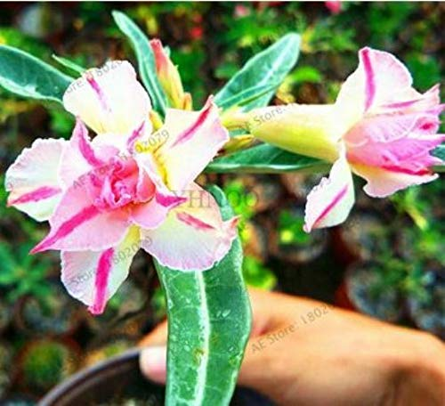 Shoopy Star 5 piÚces ANG Adenium obesum Graines Desert Rose Graine rouge Shi Adenium Graines de fleurs