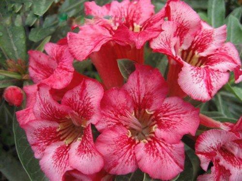 Adenium obesum Desert Rose - CX Osaga - Graines vivaces Bonsai (5)