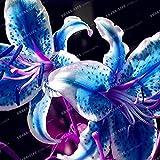 PLAT FIRM GERMINATIONSAMEN: 2 Birnen: Blau Lilienzwiebeln, Blau Lily Blumenzwiebeln, Lilien Birnen, Blau-Lilien-Blumen, HOT