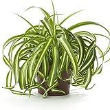 #7: Fressia Chlorophytum, Spider Plant (Dark Green) Plant with 4 inch Pot