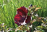 Hibiscus moscheutos 'Cranberry Crush' - 1 Pflanze im 1 lt. Rundtopf