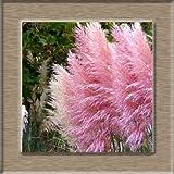 AGROBITS 100pcs New Rare Beeindruckend Lila Pampas-Gras Bonsais Zierhausgarten Pflanzen Blumen Bonsais Cortaderia Selloana: rosa