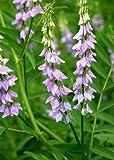 Tropica - herbes - réglisse (Glycyrrhiza glabra) - 30 graines