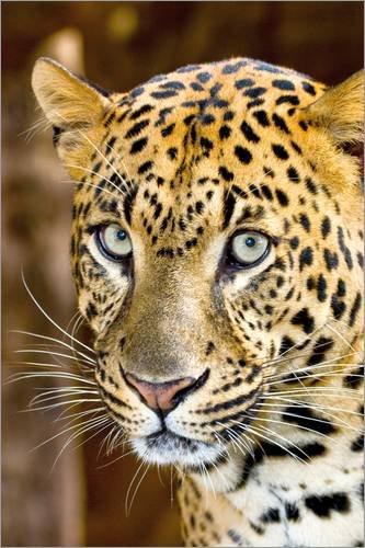 Posterlounge Alubild 120 x 180 cm: Niedlicher Leopard von Larry Richardson/Danita Delimont (Larry Der Löwe)