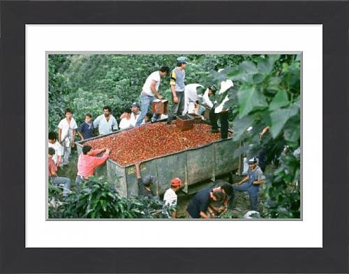 framed-print-of-loading-harvested-coffee-beans-into-a-trailer-costa-rica