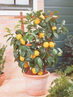 Zwerg Zitronenbaum von Heim & Büro auf Du und dein Garten