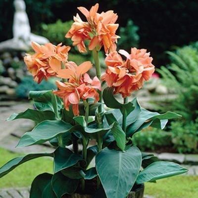 "Canna indica - Indisches Blumenrohr\"" TROPICAL SUNRISE\""2 Rhizom"