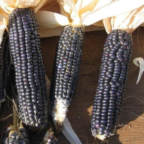 Mais – Hartmais – Ziermais – Blue Hopi (10 Samen)