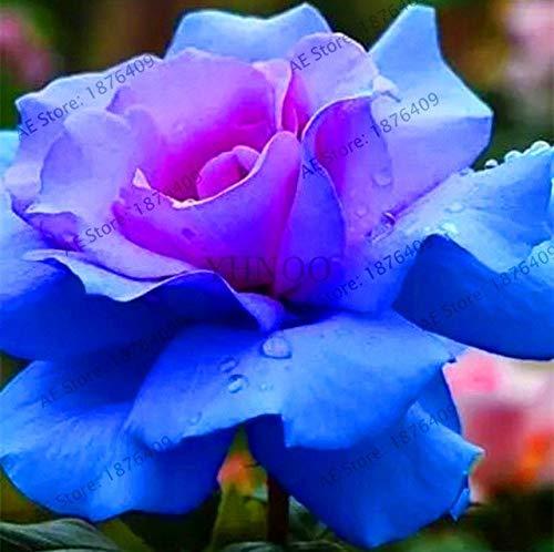 Bloom Green Co.. ! Véritable 200 pcs/Paquet Usine Rainbow Rose Holland Flower bonsaïs Rose Amant Cadeau Exotiques rares 24 Couleurs au Choix de Bricolage pour la Maison Garde de: 5