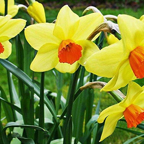 SummerRio 100 Stücke Narzisse Samen Blumensamen Winterhart Duftend Blumenzwiebel Saatgut für Barkon und Garten