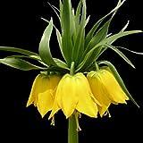 Wingbind Jaune Couronne Impériale Fritillaria Fleur Plantes Graines pour Cultiver Maison Intérieur Jardin Décor Graines D'herbe Organique Fleur Plantes Graines