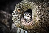 Spotted Eule Owlet wanakon National Park Thailand Foto Poster Kunstdruck 46x 30cm