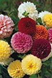 Just Seed Pompon-Dahlie Double Mixed, Blume, 50 Samen