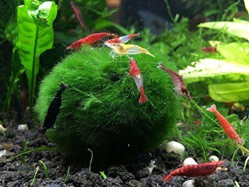 3-Giant-Marimo-Moss-Balls-1-Free-Very-High-Quality-2-to-25-Inches-8-to-15-Years-Old-Great-for-Live-Fish-Shrimp-and-Snails-by-Aquatic-Arts-by-Aquatic-ArtsTM-formerly-InvertObsessionTM