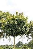 Hausbaum Kugel-Ahorn. Acer Globosum. Lieferhöhe: 150-180cm. 15 Liter Container. inkl. Pflanzstab und Sisal-Band - zu dem Artikel bekommen Sie gratis ein Paar Handschuhe für die Gartenarbeit dazu